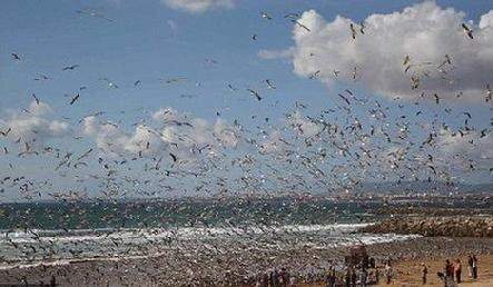 Flock of seagulls: Thousands descend on Costa de Caparica beach near Lisbon to the delight of onlookers.